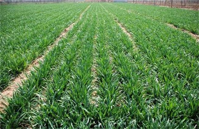 冬小麦返青期该如何管理