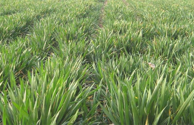 冬小麦 返青期 如何管理