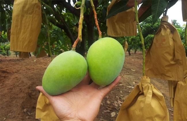芒果 种植 环境要求