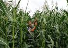 玉米去雄的方法及注意事项