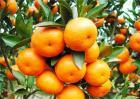 适合秋季种植的水果