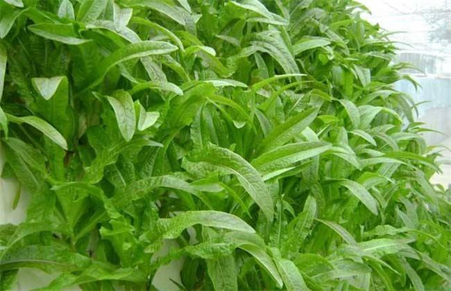 莴笋高产的种植方法