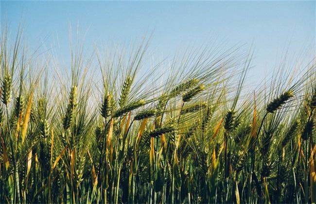 麦田除草的方法