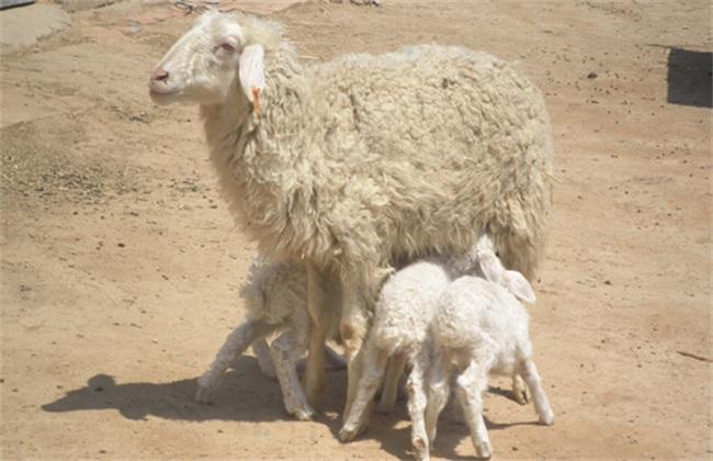 羊子宫内膜炎怎么办