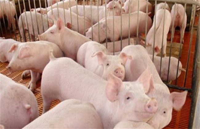 秋季养猪的饲养管理