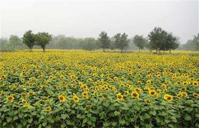 高产 向日葵 栽培技术