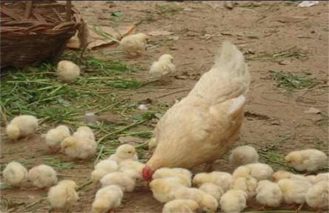 小鸡 注意事项 培育