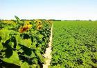 向日葵高产栽培技术