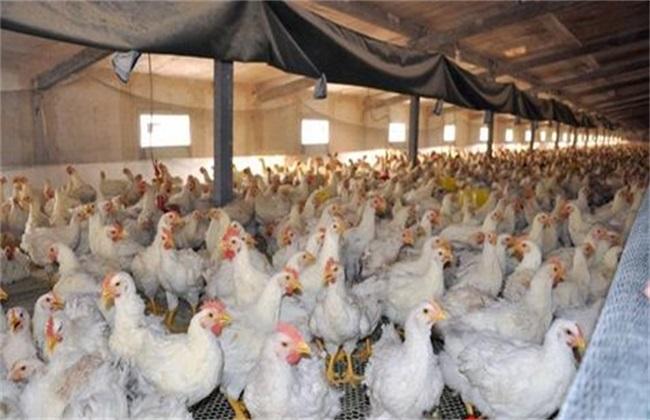 冬季养殖肉鸡的管理方法