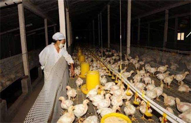 肉鸡 管理方法 冬季养殖