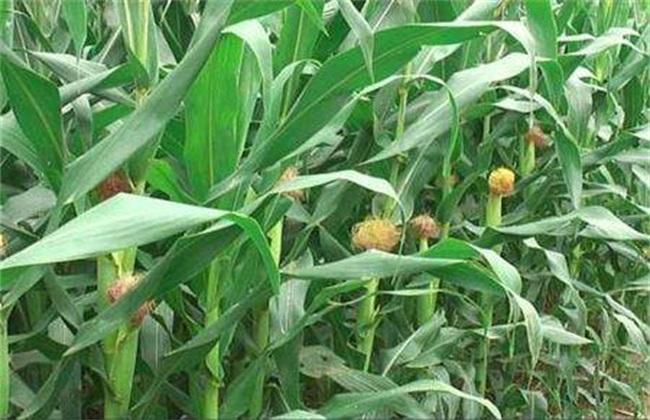 玉米 管理要点 花粒期