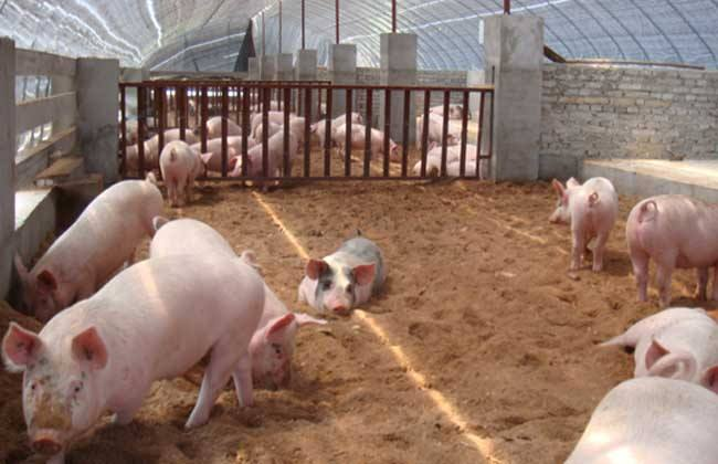 发酵饲料养猪有什么优点