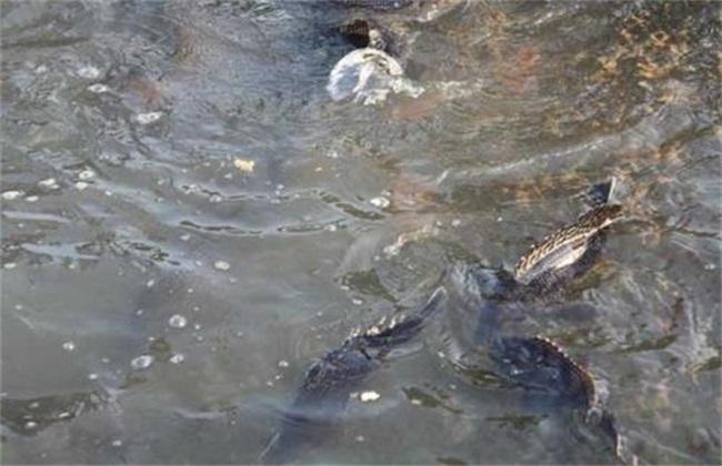秋季养殖鳜鱼要注意什么