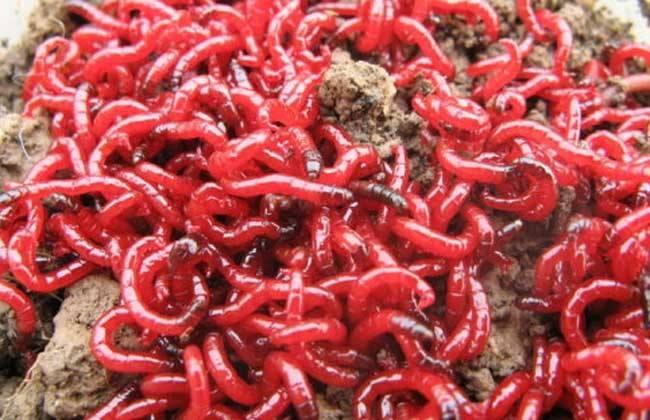 红虫该怎么养