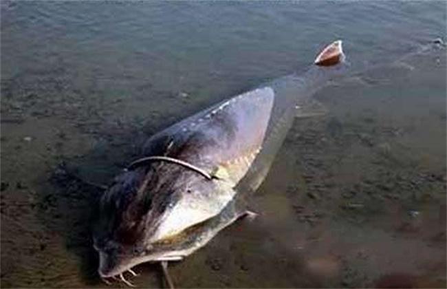 鳇鱼的养殖技术