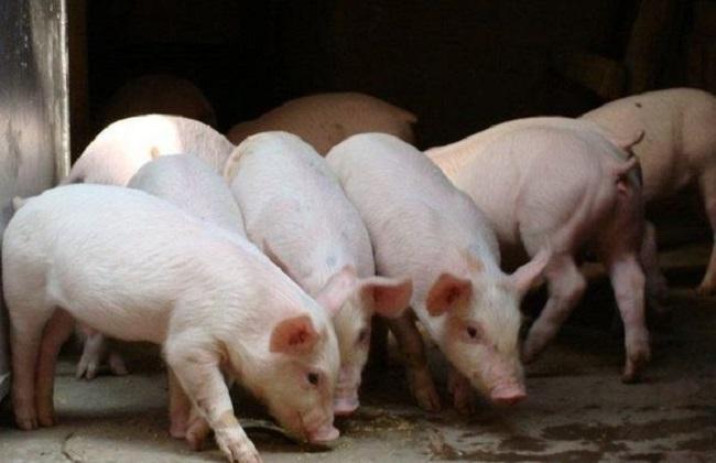 呼吸道疾病 防控措施 猪