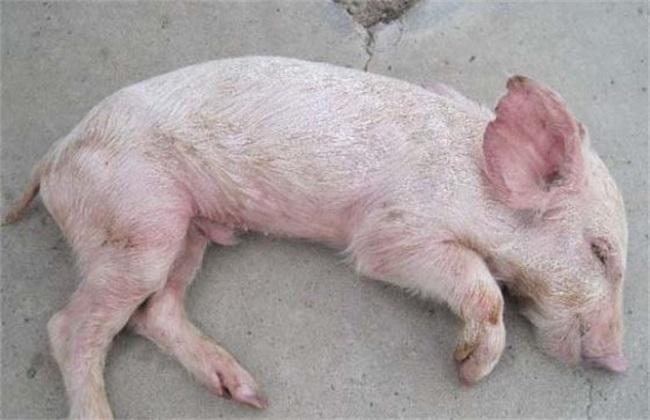 问题 秋季 养猪
