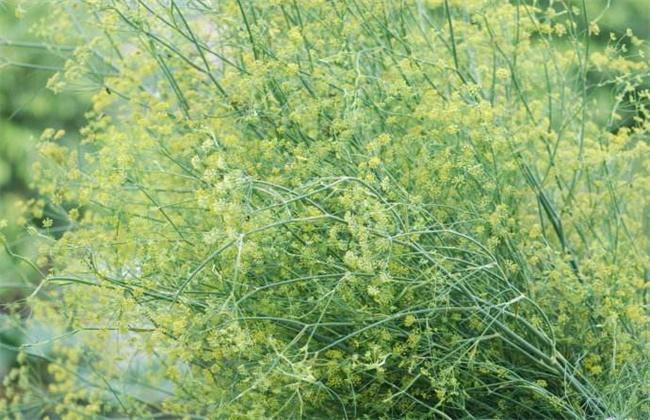 小茴香高产栽培技术