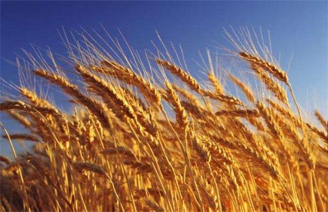 小麦冬前旺长怎么办