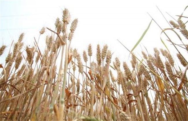 小麦 怎么办 冬前旺长