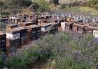 意蜂养殖注意事项