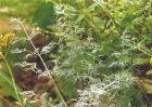 茴香常见病害的防治方法