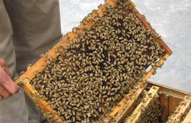 蜜蜂 养殖 方法