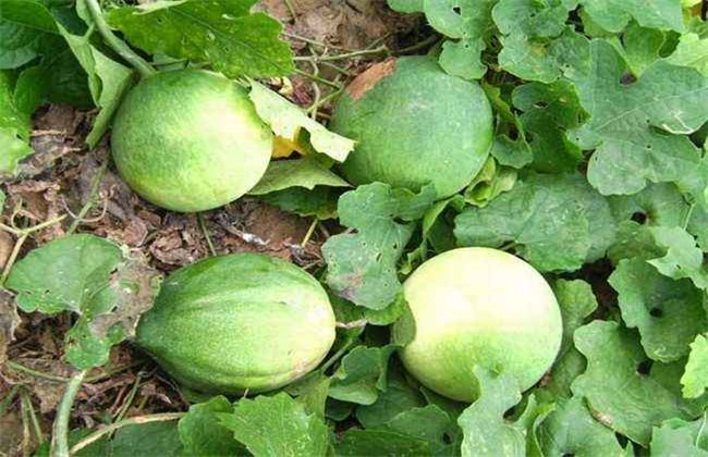 瓜蒌种植赚钱吗