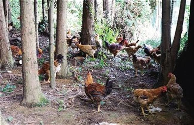 林下养鸡注意事项