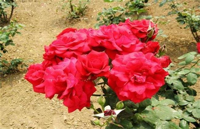 玫瑰怎么施肥