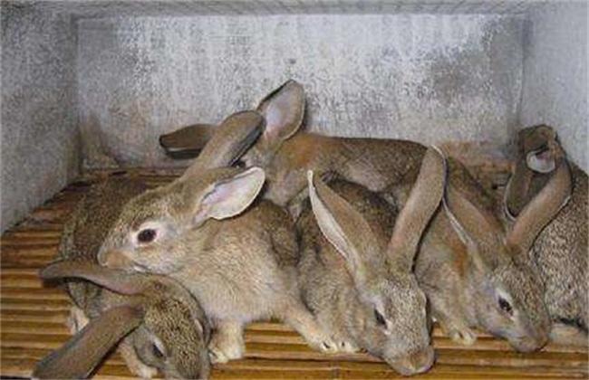 野兔 常见问题 养殖
