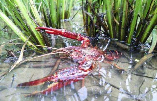 养殖小龙虾难在哪里