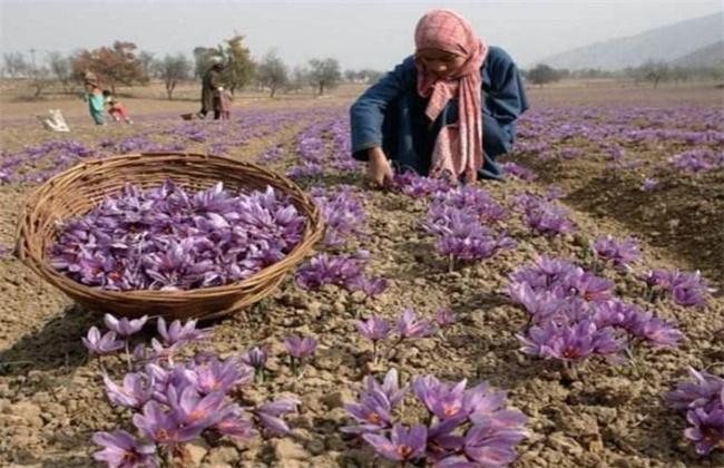 藏红花的种植技术
