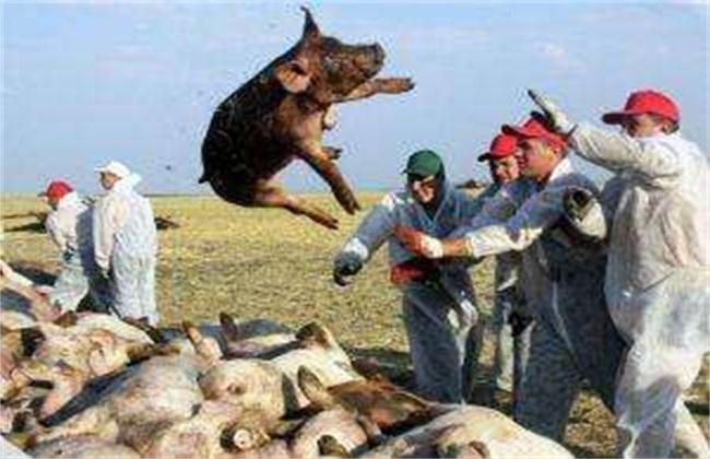 非洲猪瘟与猪瘟的差别