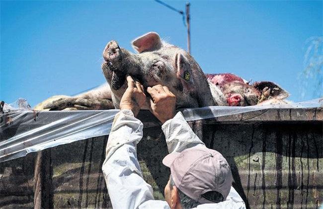 猪瘟 非洲猪瘟 差别