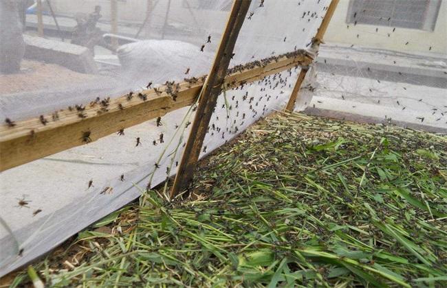 蚂蚱 养殖 技术