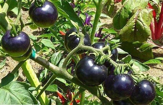 黑番茄的种植方法