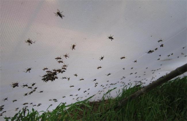 蚂蚱 管理要点 养殖