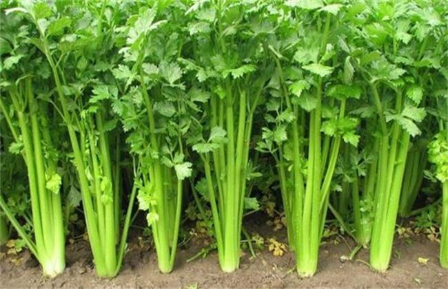 芹菜越冬栽培管理技术