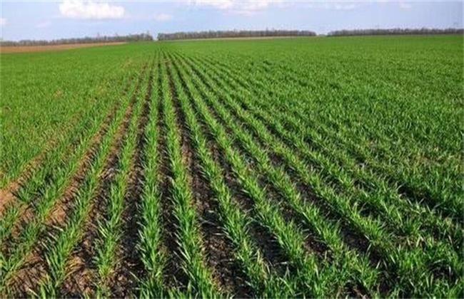 冬小麦种植技术