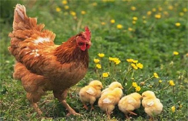 秋冬季如何管理散养鸡