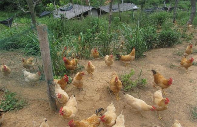 散养鸡 秋冬季 管理方法
