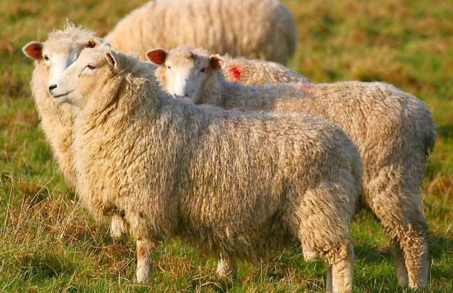 绵羊四季放牧的注意要点