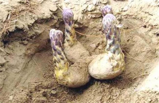 肉苁蓉人工种植技术