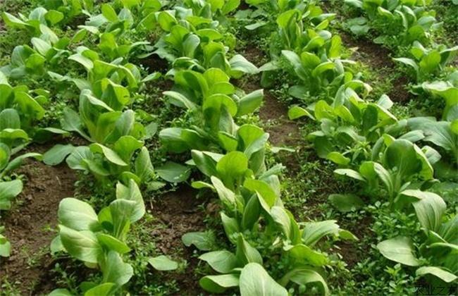 一年四季可以种的蔬菜