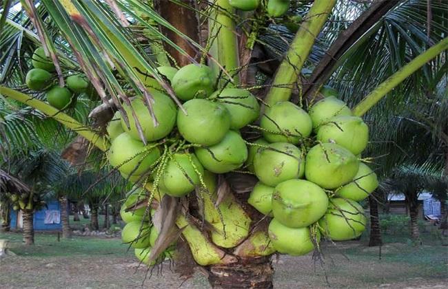 椰子种植的注意事项