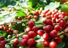 咖啡豆种植的方法