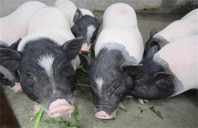 香猪肉多少钱一斤