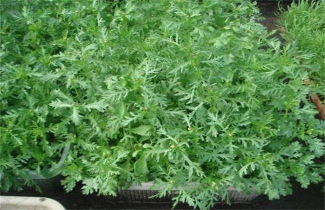 田间管理 茼蒿 种植