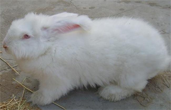 长毛兔养殖的方法